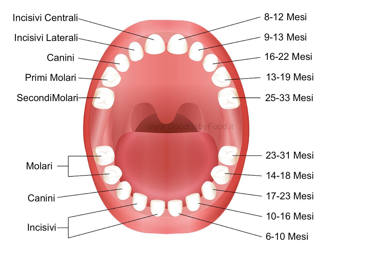 Denti da latte quando spuntano i primi denti del neonato for A quanti mesi i cani cambiano i denti
